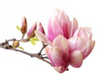 Magnolia flower Stock Images