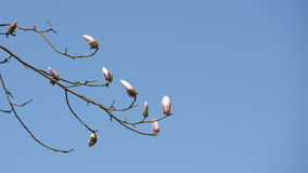 Magnolia flower buds with blue sky background. Beautiful Magnolia flowers buds in early spring of China Stock Photo