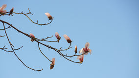 Magnolia flower buds with blue sky background. Magnolia flower buds with blue sky background in early spring of China Stock Photography