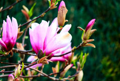 Magnolia flower with buds in early spring. Purple and white magnolia blossom with buds in early spring Royalty Free Stock Image