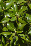 Magnolia Flower Buds. Leaves with two emerging flower buds of Magnolia Stock Image