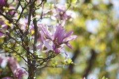 Magnolia Flower Buds. Pink Magnolia Flower Buds in Spring Stock Photos