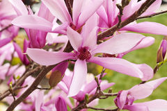 Magnolia Flower Bush Closeup Stock Photography