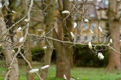Magnolia, flower, Bush, tree, branch, spring, bloom Stock Photography