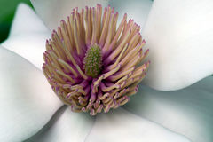 Magnolia Flower Center. Magnolia Stigma surrounded by pink stamens and white Perianth Stock Photography