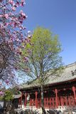 Magnolia flower in Chinese garden Royalty Free Stock Images