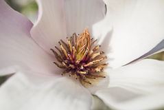 Magnolia flower close-up Royalty Free Stock Photography
