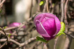 Magnolia flower. Close up on a blur background of leaves Royalty Free Stock Photo