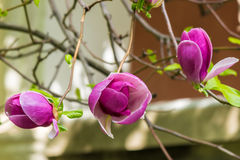 Magnolia flower. Close up on a blur background of leaves Royalty Free Stock Image