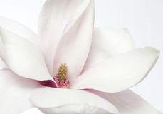 Magnolia flower. Close up of fresh magnolia flower Royalty Free Stock Photos