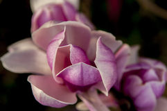 Magnolia flower close up Royalty Free Stock Photography