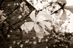 Magnolia flower, close up Stock Image
