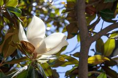 Magnolia flower close up. Plants in the city. Nature of Spain. Blooming garden in Madrid. stock images