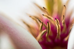 Magnolia flower close up showing anthers and petals. White petals and yellow anthers contrast with out of focus pink filaments in this detail of impressive Royalty Free Stock Photo