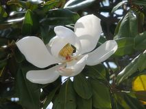 Magnolia flower. Close up of flower in tree Stock Images