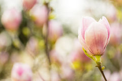 Magnolia Flower Closeup Royalty Free Stock Photography