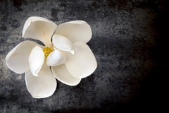 Magnolia Flower on Dark Slate Top View Stock Photo