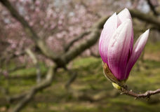 Magnolia Flower. Detail of Blooming Magnolia Flower on the Branch Royalty Free Stock Image