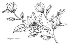 Free Magnolia Flower Drawing Illustration. Black And White With Line Art. Stock Photography - 110941752