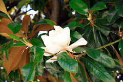 Magnolia flower. In the frame of green leaves on a summer day. Dwarf variety of Magnolia Grandiflora Stock Image