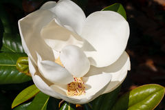 Magnolia Flower in Full Bloom Royalty Free Stock Images