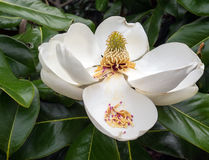 Magnolia Flower in Full Bloom Stock Photos