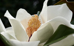 The magnolia. The flower magnolia in a garden Stock Image