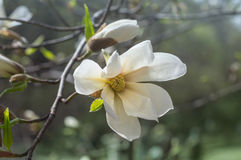 Magnolia flower in the garden in springtime Stock Images