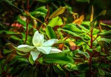 Magnolia flower and grasshopper Stock Photo