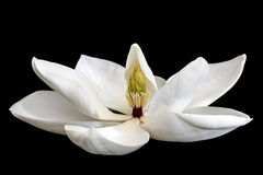 Magnolia Flower Isolated on Black. Background.  Side view.  Little Gem, a dwarf variety of magnolia grandiflora Stock Photography