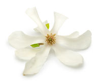 Magnolia flower isolated on a white background Royalty Free Stock Photo