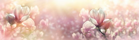 Magnolia flower lit by sunlight - beautiful flowering. In spring, beautiful nature Stock Images