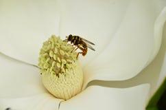 Magnolia flower (M. grandiflora) Royalty Free Stock Photography