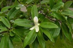 Magnolia flower (M. grandiflora) Stock Photos