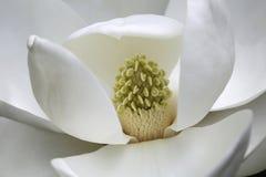 White Magnolia Flower, Macro. Stock Photos