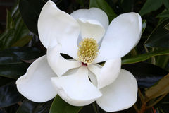 White Magnolia Flower, Macro Stock Photography