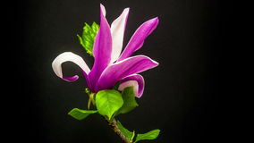 Magnolia flower (Magnolia virginiana) blossoming timelapse. Shot against a black background stock video