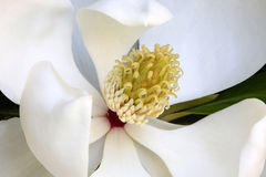 White Magnolia Flower with Nectar Drops, Macro. Stock Image