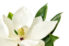 Magnolia Flower over White Background Royalty Free Stock Photo