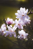 Magnolia flower in the park on dark background Royalty Free Stock Images