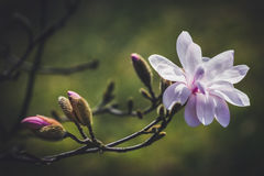 Magnolia flower in the park on dark background Stock Photos