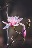 Magnolia flower in the park at springtime Royalty Free Stock Image