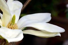 Magnolia flower bud Stock Photography