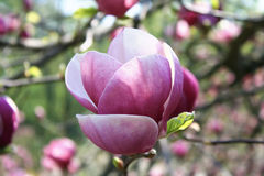 Magnolia flower. Pink magnolia flower on the branch Stock Photo