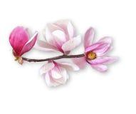 Magnolia flower, spring branch on white Stock Photo