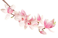 Magnolia flower, spring branch on white Royalty Free Stock Photos