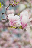 Magnolia flower in springtime Royalty Free Stock Photography