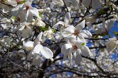 Magnolia Flower Royalty Free Stock Image