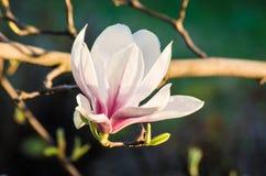 Magnolia flower in sunlight Stock Image