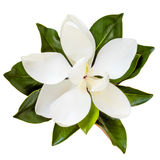 Magnolia Flower Top View Isolated on White Royalty Free Stock Photo